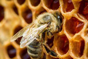 пчела делает мед