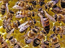 матка в окружении пчел